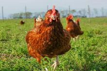 هزینه تمام شده تولید مرغ ۳۰ درصد افزایش یافت