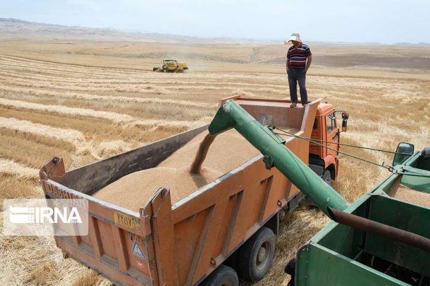 تولید گندم در قزوین رشد یافت