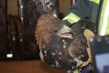 رهاسازی عقاب در طبیعت دلفان