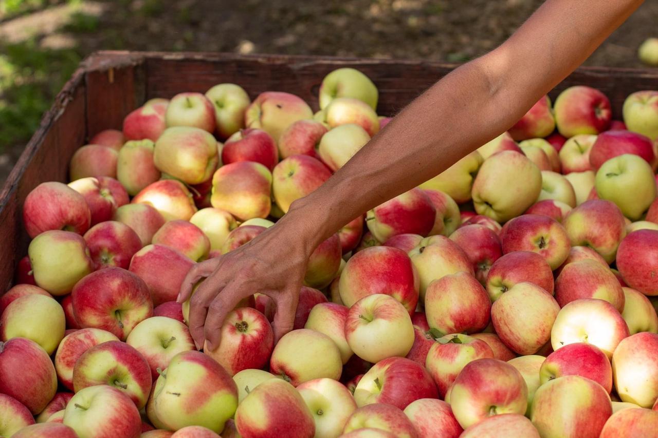 عوارض عجیب زیاده روی در مصرف سیب/ منتشر نشود