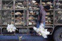 کشف 1200 قطعه مرغ قاچاق در شیروان
