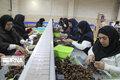 کشاورزی محور توسعه در شهرستان سلسله