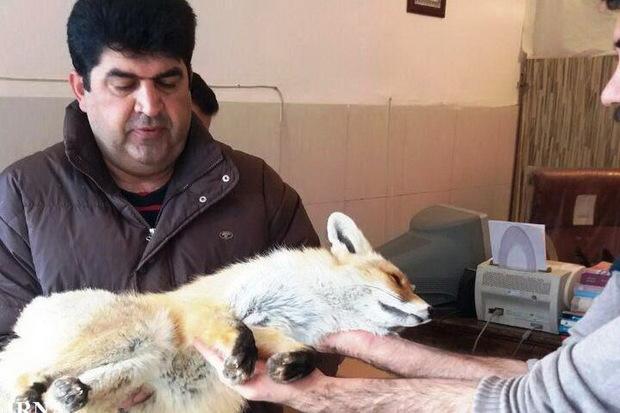 دوستداران محیط زیست در پیرانشهر روباه زخمی را نجات دادند