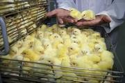 بازار مرغ تعریفی ندارد/ قیمت جوجه یکروزه کمتر شد/ عرضه مرغ گرم بالاتر از نرخ 24 هزار و 900 تومان گرانفروشی است