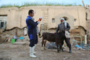 چهار میلیون و ۱۲۵ هزار راس دام استان مرکزی ایمنسازی شد