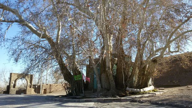 درخت چنار روستای ارمیان میامی در فهرست آثار ملی ثبت شد