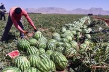 بیش از 90 هزار تن هندوانه در تایباد برداشت شد