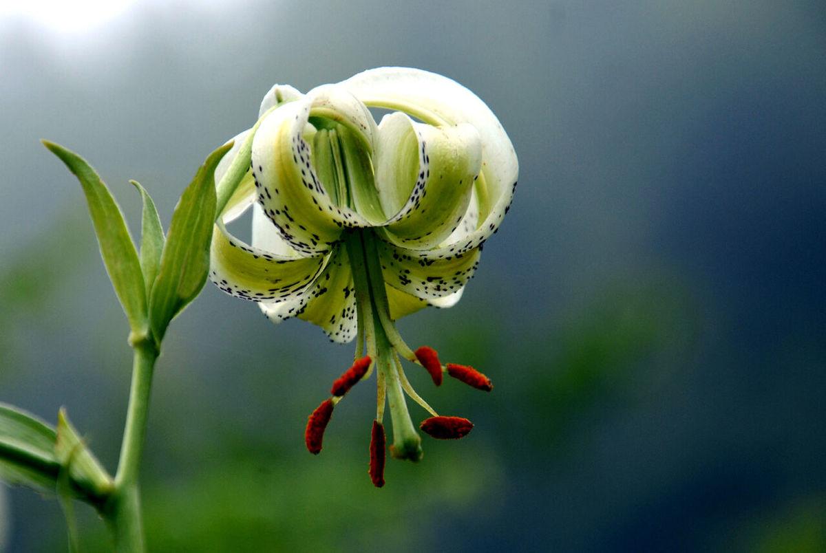 شکوفایی نادرترین گل جهان در گیلان+ تصاویر