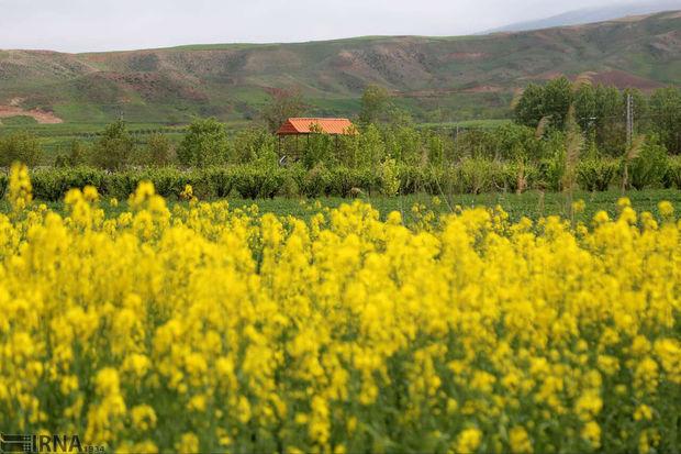 کشاورزان گنبدی برای کشت ۱۰ هزار هکتار کلزا قرارداد منعقد کردند