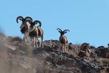 سرشماری پاییزه پستانداران در خراسان جنوبی آغاز شد