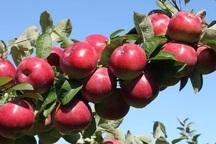 103 هزار تن سیب خراسان رضوی صادر شد