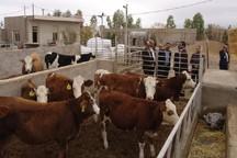 سه طرح پرورش گاو شیری و پرواربندی گوساله در ابرکوه افتتاح شد