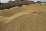شرایط لازم برای خرید تضمینی گندم در قزوین باید فراهم شود