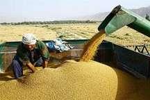 خرید تضمینی سه هزار تن جو از کشاورزان جنوب خراسان رضوی