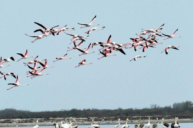 کاهش 30 درصدی حضور فلامینگوها در دریاچه ارومیه