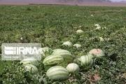هندوانه دیم در شهرستان کازرون محصول داد
