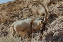 منطقه شکار ممنوع خرمنه سر طارم، عاری از بیماری طاعون است