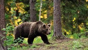 شکارچی خرس قهوه ای حین فروش دستگیر شد