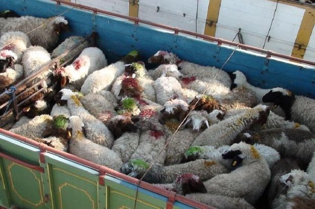 کشف ۱۳۰ راس گوسفند قاچاق در شهرستان چگنی