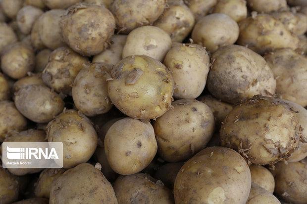 برداشت سیبزمینی در دامغان ۳ هزار تن برآورد میشود