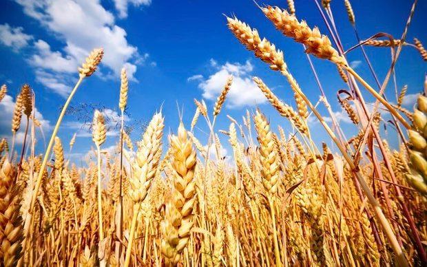 متوسط تولید گندم آبی در البرز 150 درصد رشد داشته است