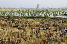 شتاب در کشت دوم برنج فراتر از خطر کم آبی