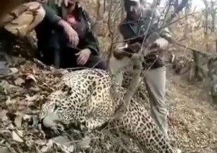 دستگیری شکارچی پلنگ در رودبار  تلاش برای دستگیری همدستان شکارچی متخلف