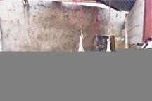 دامپزشکی شاهین دژ مانع ورود گوشت 6 راس دام بیمار به بازار شد