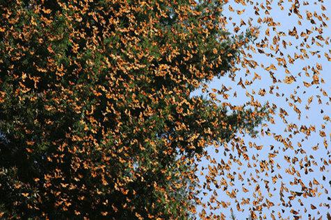هجوم پروانه ها به شهرهای ایران خطرناک است؟
