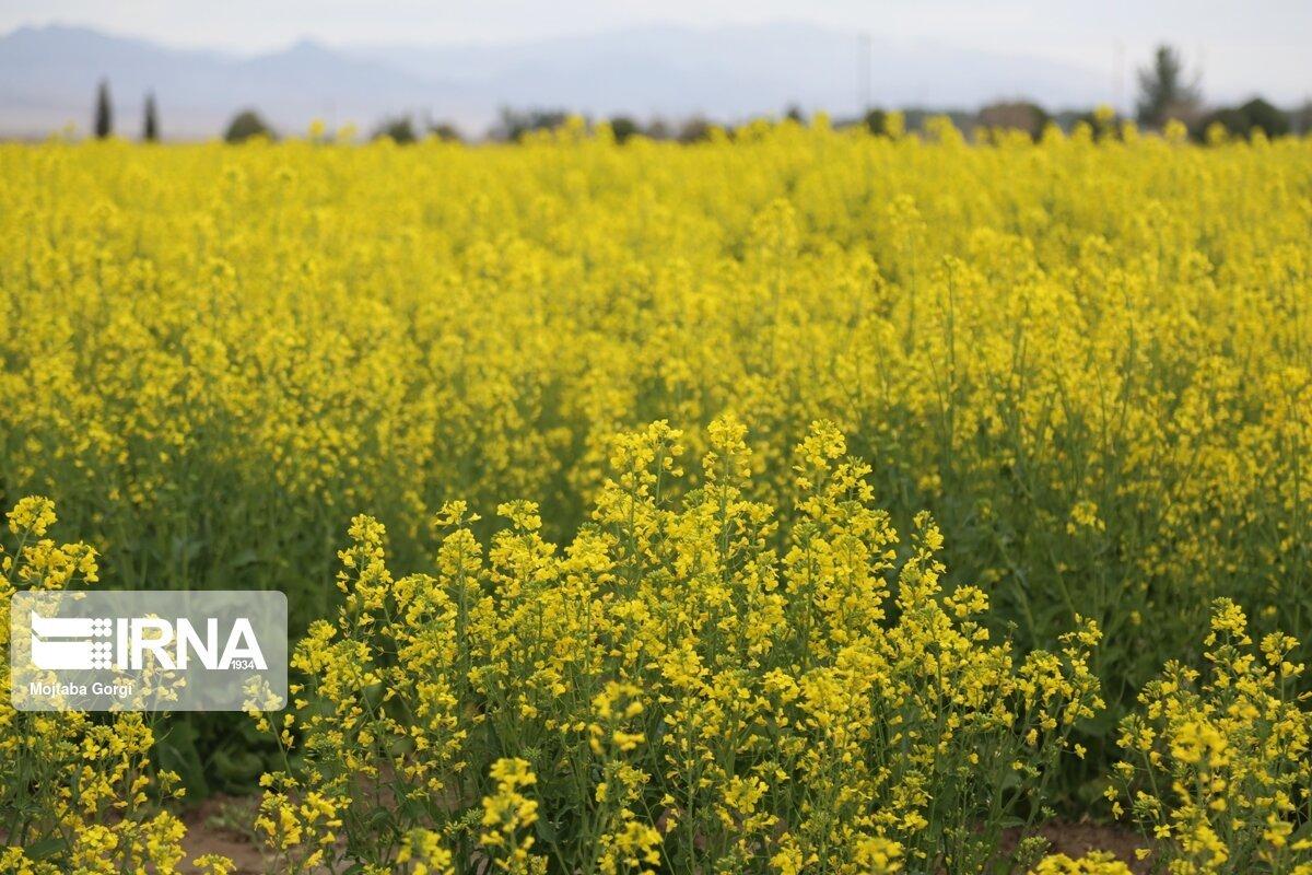 پایش کلزا در ۵۷۸۰ هکتار از اراضی کشاورزی قزوین