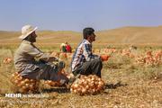 بذر کیلویی ۸ میلیون و محصول کیلویی ۳۰۰ تومان  افت قیمت ادامه دارد