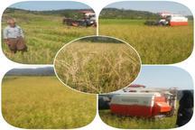 ورود برنج دونوج (رتون) مازندران به بازار