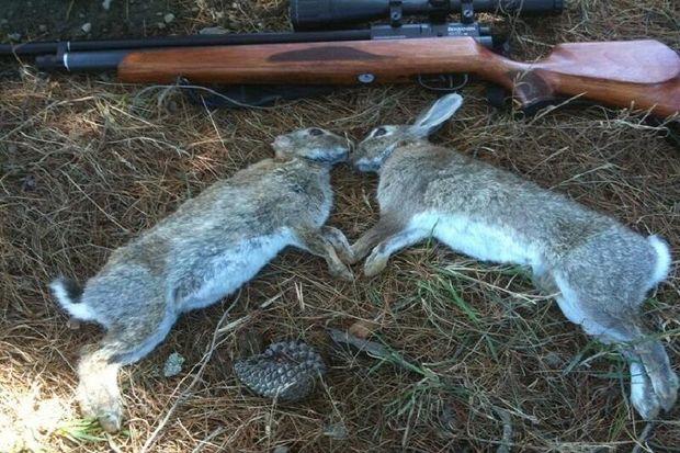 شکارچیان خرگوش در آوج دستگیر شدند