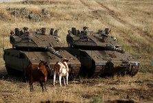 تحلیلگر مشهور عرب:خدا را شکر گاوهای ما صحیح و سالم به وطن بازگشتند!