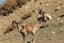 جمعیت حیات وحش قزوین 20 درصد افزایش یافته است