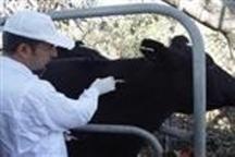 کاهش 45 درصدی ابتلا به سل در دام های قزوین