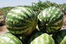 واکنش وزارت جهاد به مرجوع شدن هندوانهها از عمان