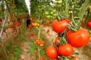 صادرات حدود یکهزار تن گوجه فرنگی از میرجاوه به روسیه و کشورهای حاشیه خلیج فارس