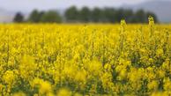 پرداخت 100 درصد بهای کلزا به کشاورزان گلستان