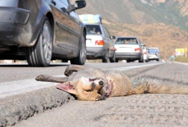 ثبت ۱۶۹ مرگ وحوش بر اثر تصادفات جاده ای در ایلام