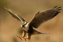 ممنوعیت دام هوایی برای شکار پرندگان در آستانه اشرفیه
