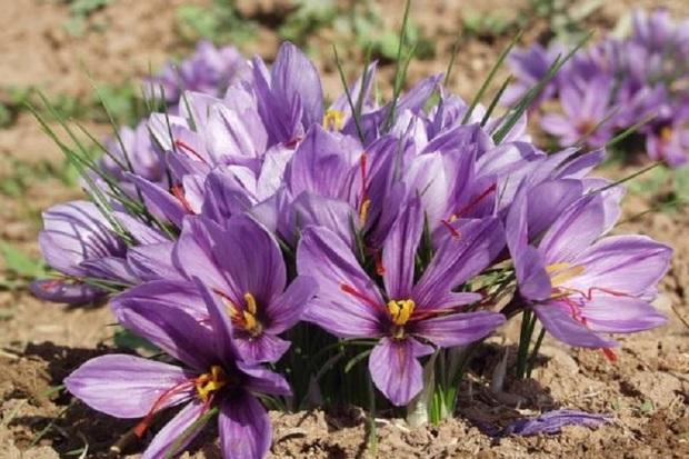 300 کیلو زعفران در گلپایگان برداشت شد