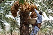 نگرانی باغداران کرمان از کاهش قیمت خرما