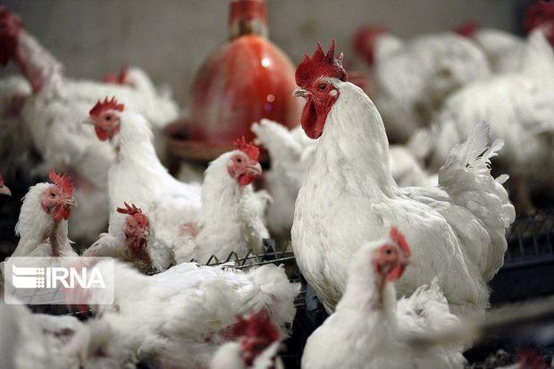 ممنوعیت ورود مرغ زنده به خرمآباد