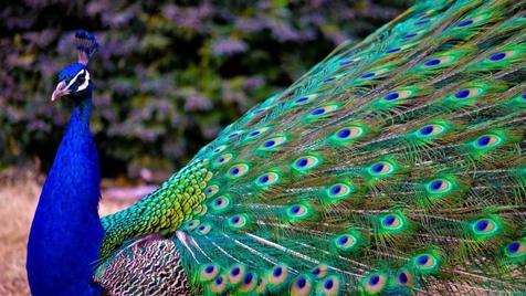 دستگیری طاووس مزاحم در کانادا