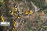رئیس جهاد کشاورزی فارس: مبارزه با ملخ در این استان به اعتبار نیاز دارد
