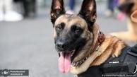 آموزش سگ ها برای تشخیص کرونا