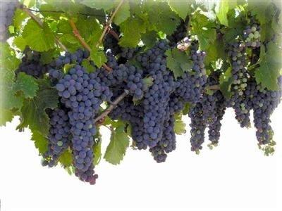 این بار از بلوچستان روانه بازار شد  انگور یاقوتی نوبرانه میادین میوه وتره بار