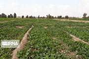۶۸ سبزیکار متخلف به دستگاه قضایی کردستان معرفی شدند