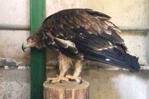 گونه عقاب شاهی در شهرستان لردگان مشاهده شد